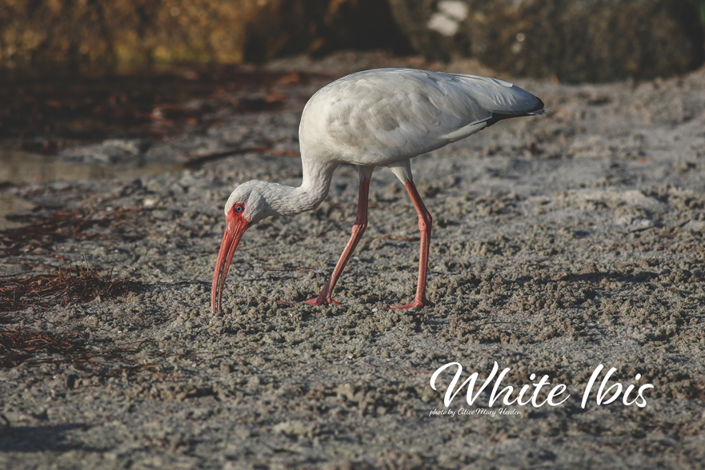 White Ibis  | Photo by Alice Mary Herden
