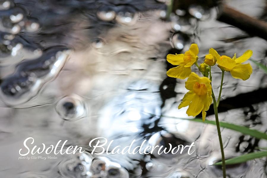 Swollen Bladderwort | photo by Alice Mary Herden