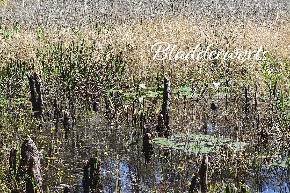 Aquatic Carnivorous plants- Meet the Bladderworts ZigZag and Swollen.