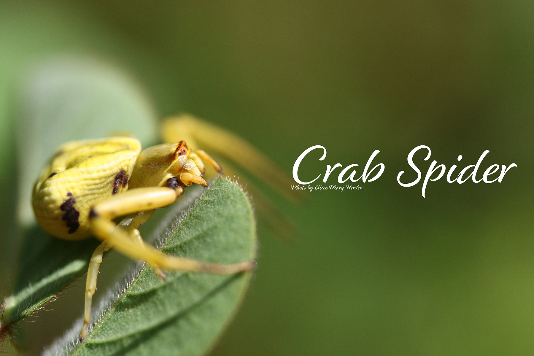 Creepy Critters: Crab Spiders