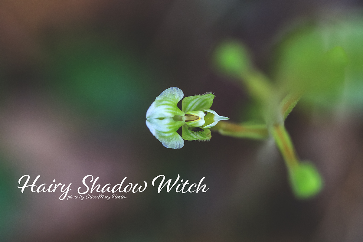 An Orchid with  a Witchy Name