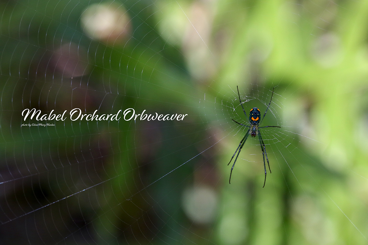Creepy Critters: Mabel Orchard Orbweaver