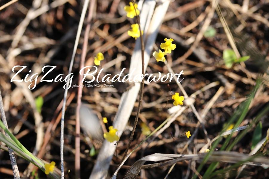 ZigZag Bladderwort | photo by Alice Mary Herden