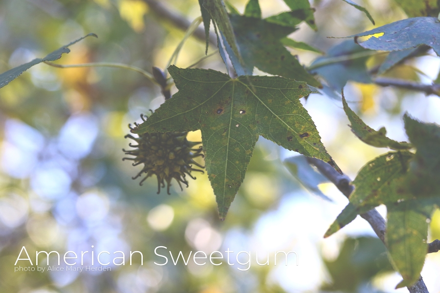 American Sweetgum photo by Alice Mary Herden