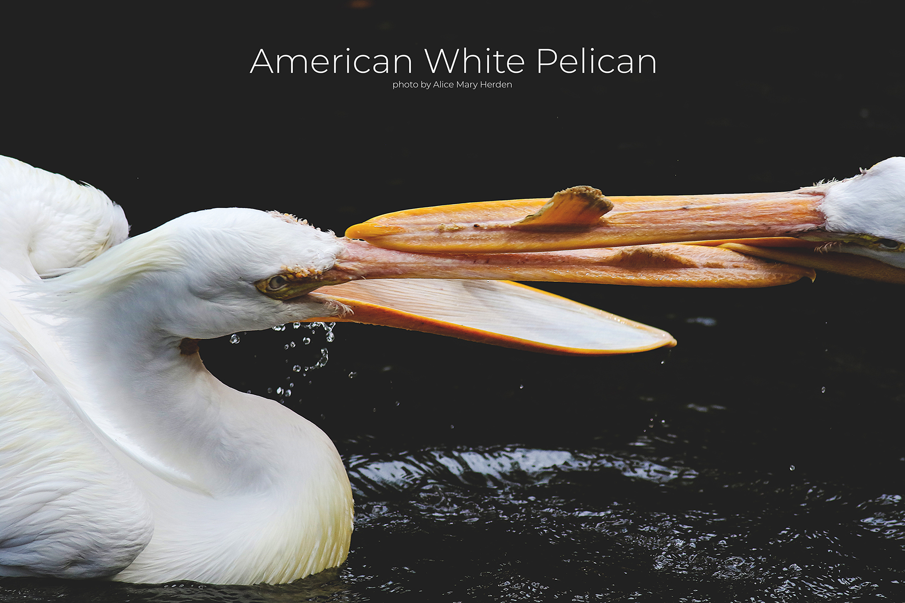 Wild Seabirds- The American White Pelican