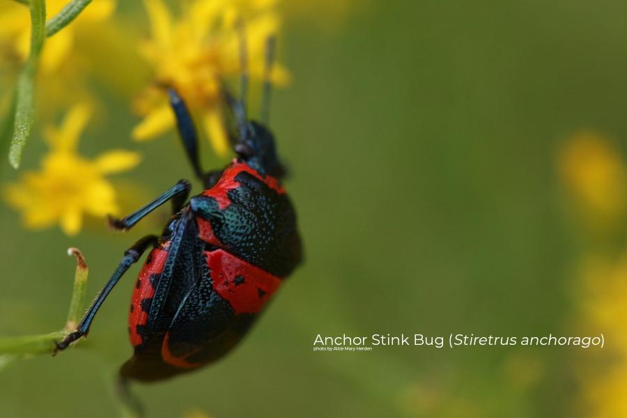Anchor Stink Bug (Stiretrus anchorago)