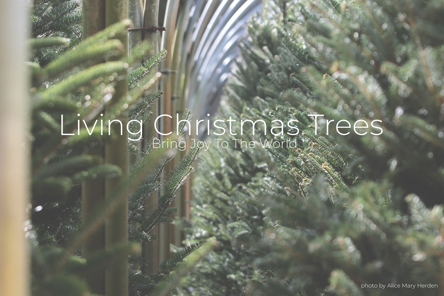 Living Christmas Trees Bring Joy To The World by Lilly Browning Florida-Friendly Landscaping Program Coordinator