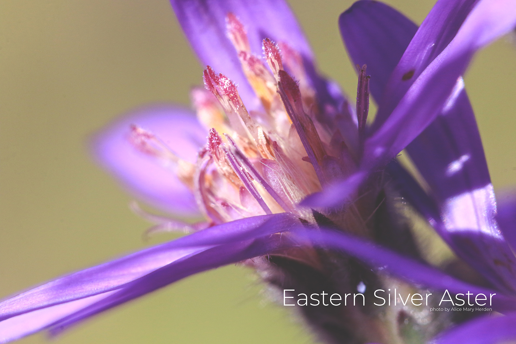 Eastern Silver Aster