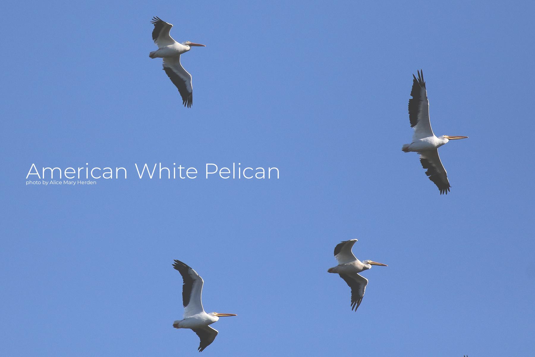 Wild Seabirds- The American White Pelican