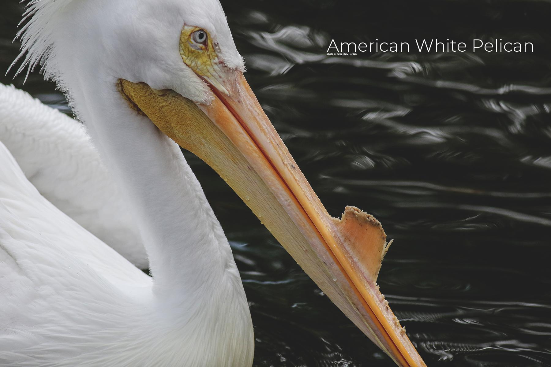 AMH_3044Wild Seabirds- The American White Pelican