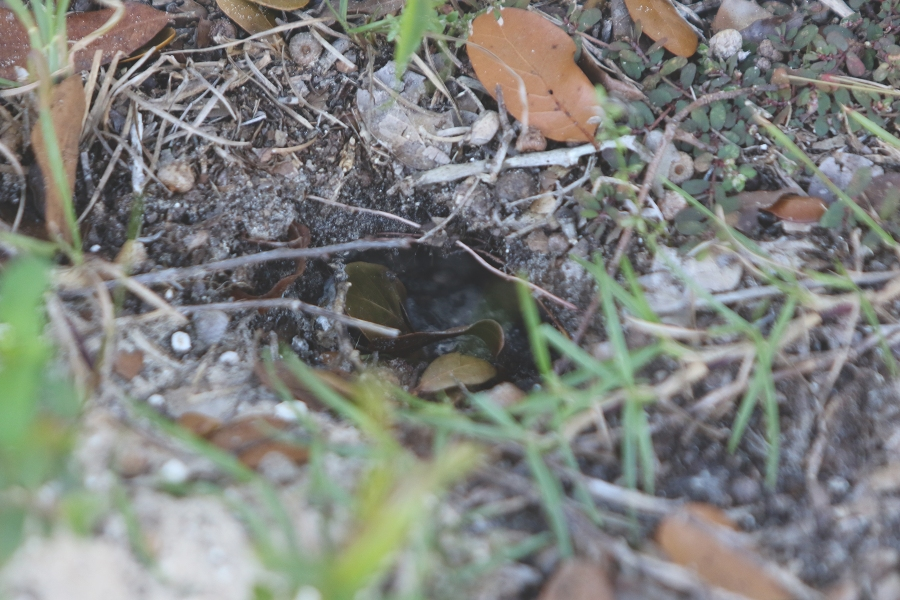 Gopher Tortoise Burrow - Hatchling