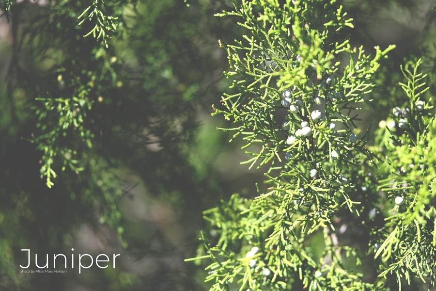 Juniper photo by Alice Mary Herden