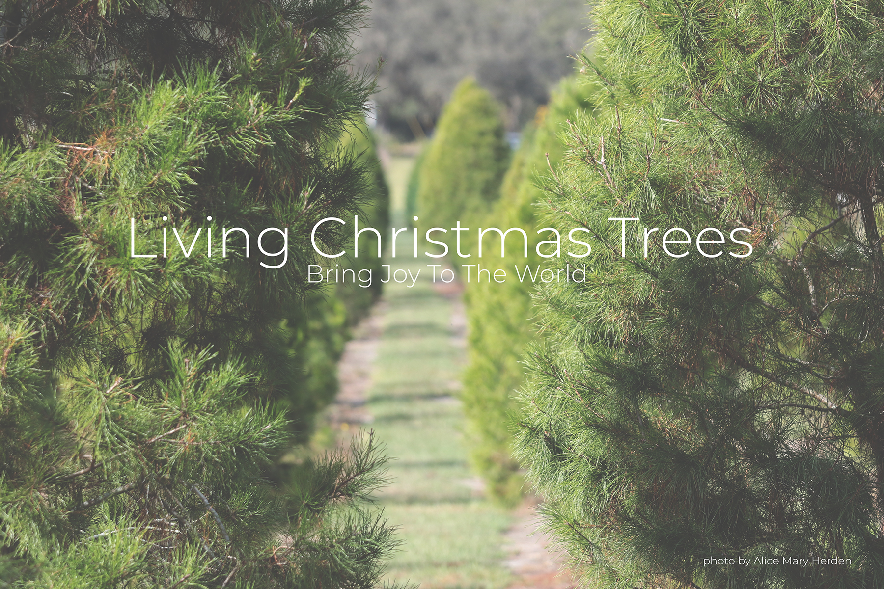 Living Christmas Trees Bring Joy to the World