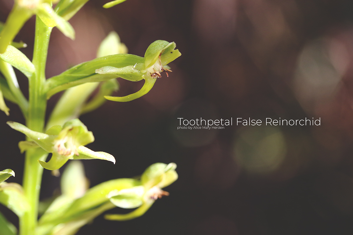 Toothpetal False Reinorchid photo by Alice Mary Herden