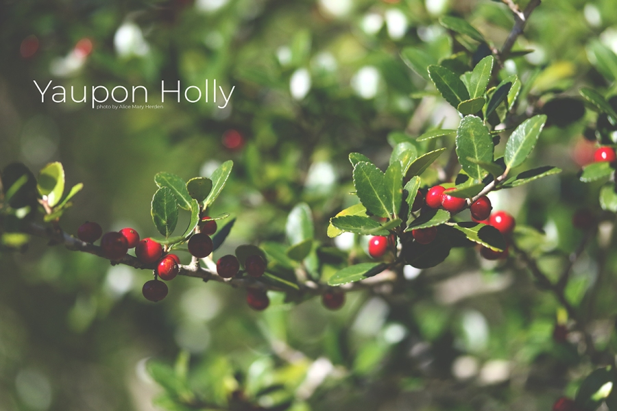 Yaupon Holly photo by Alice Mary Herden