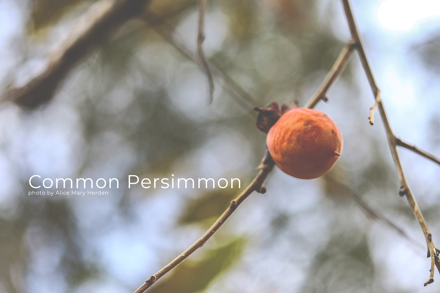 Common Persimmon- Button Ornaments