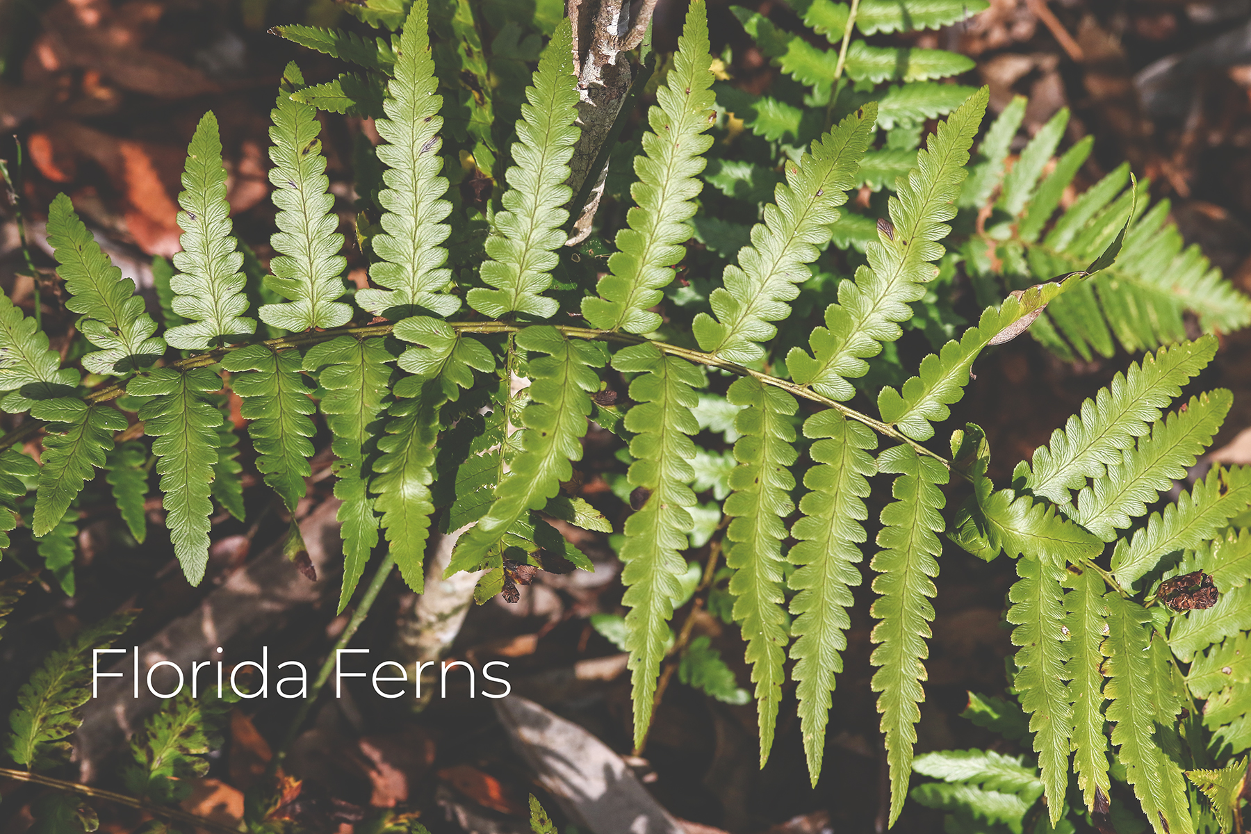 Simply Green- Florida Ferns