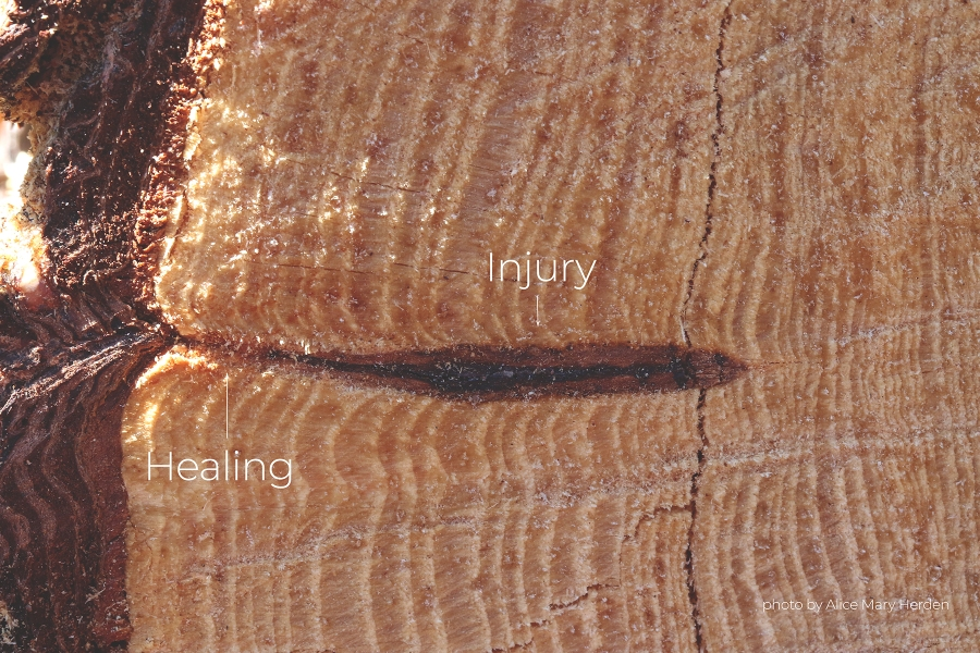 A pine tree reveals an injury that happened over 20 years ago.