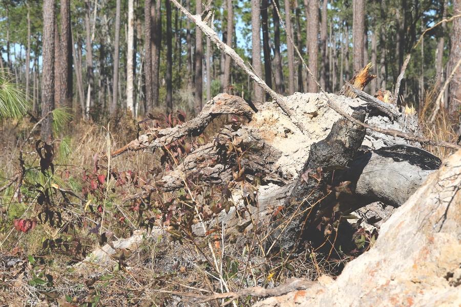 Uprooted pine tree