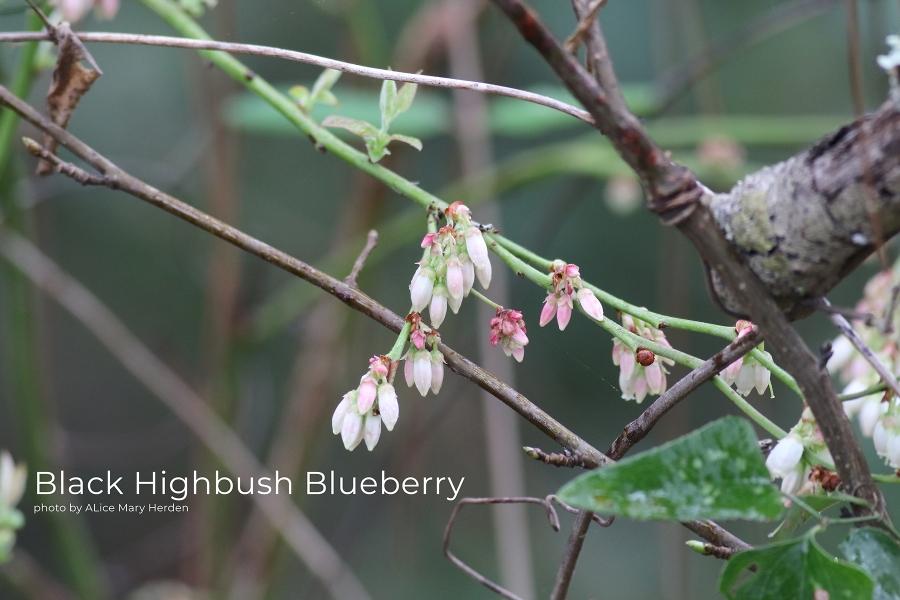 Black Highbush Blueberry