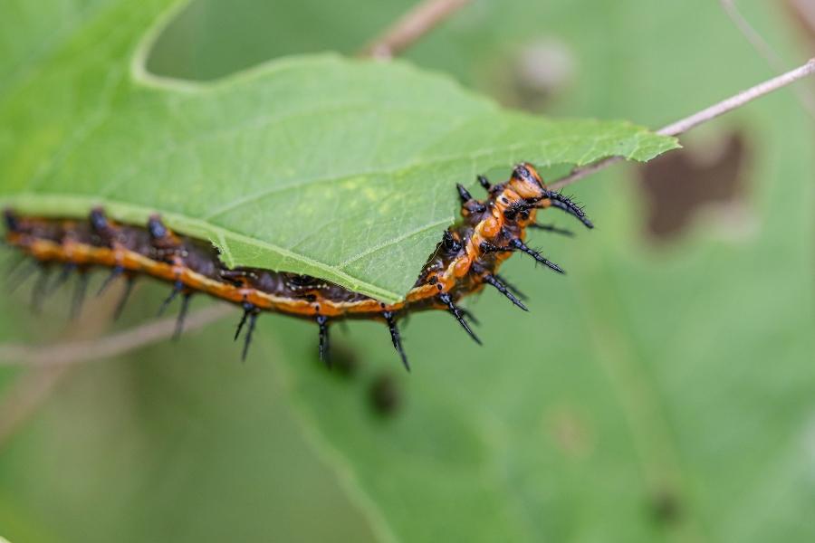 Gulf Fritillary Caterpillar