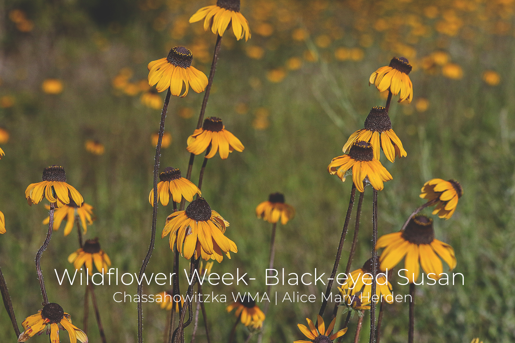 National Wildflower Week | Black-eyed Susan