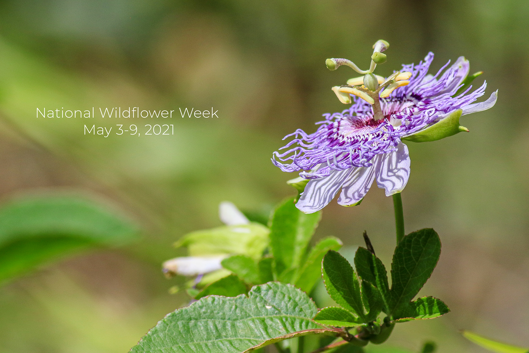 National Wildflower Week is May 3-9